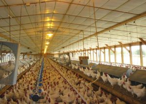 Photo inside of a chicken farm