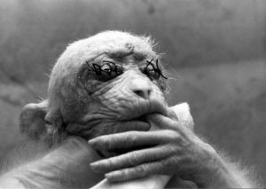 Photo of a liberated monkey that has been used for medial testing
