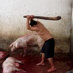 Content warning: Violent imagery. Photo from inside a slaughter house where a man is clubbing pigs