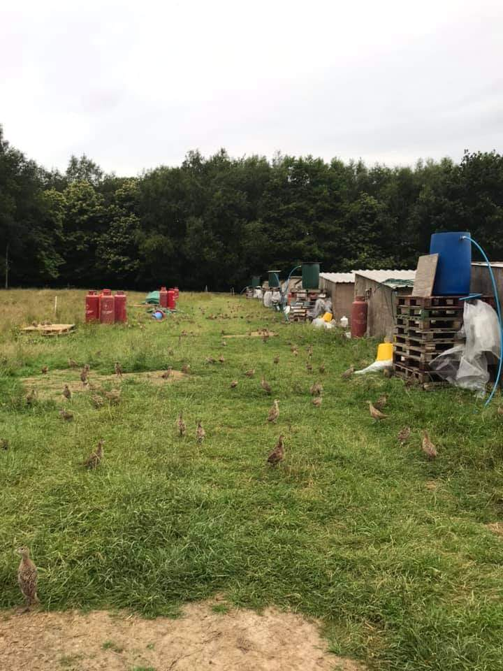 20,000 PHEASANTS RELEASED FROM GAME FARM.
