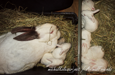 OPEN RESCUE OF MOTHER AND BABY RABBITS